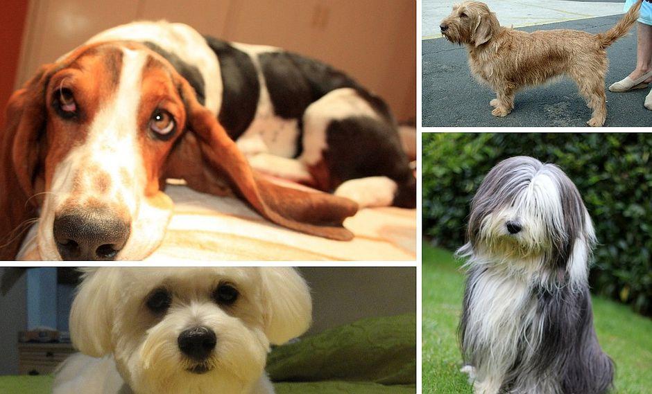 Razas de perros: el temperamento de más de 25 especies de canes (FOTOS)