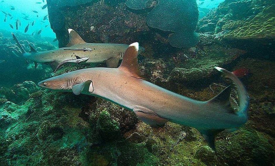Rastrean a tiburones vía acústica y satelital para conservar ecosistema