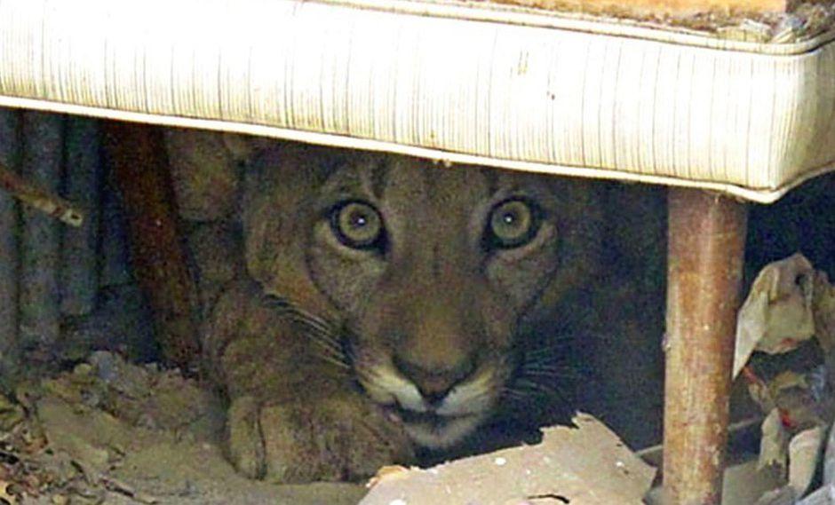 Puma que vivía escondido abajo de una cama será liberado a un parque natural