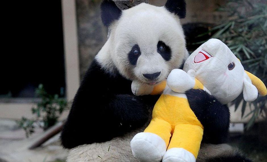 """Terrible: a los 31 años muere Pan Pan, el """"abuelo de los pandas"""""""