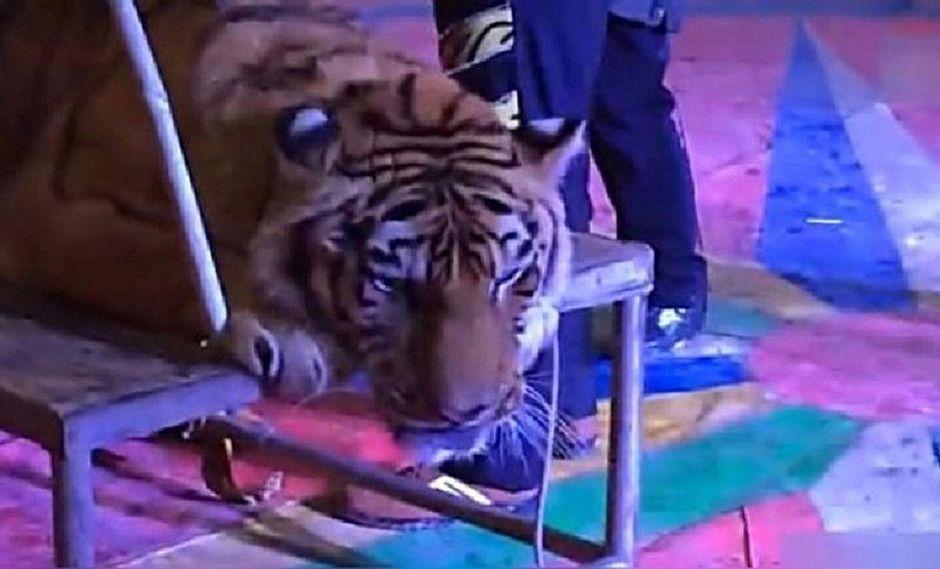 ¡Crueles! Circo hace algo atroz con tigre para tener contentos a visitantes (VIDEO)