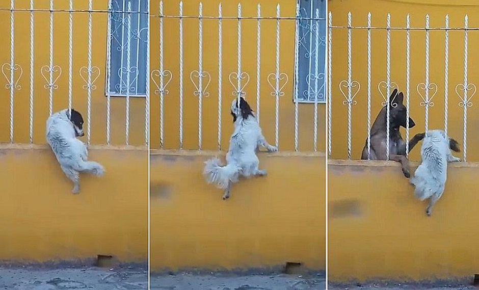 Trabajo en equipo de dos perros sorprende a muchos y se hace viral en Facebook (VIDEO)